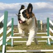 Stock Photo: Jumping Saint bernard