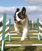 Jumping Saint bernard — Stock Photo
