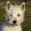 West highland terrier - Stock Photo