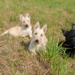 Puppies scottish terrier — Stock Photo #2456667