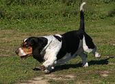 Running Basset hound — Stock Photo