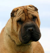 Shar pei — Stock Photo