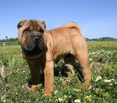 Puppy Shar pei — Stock Photo