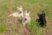 Puppies scottish terrier — Stock Photo