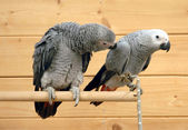 African gray parrots — Stock Photo