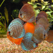 Tropical fish discus (Symphysodon) — Stock Photo #2494858