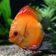 Stock Photo: Tropical fish discus (Symphysodon)