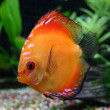 Tropical fish discus (Symphysodon) — Stock Photo
