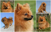 Pomeranian dog — Stock Photo