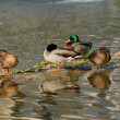 Wild ducks - Foto Stock