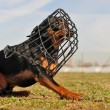 Stock Photo: Miniature pinscher and muzzle