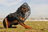 Miniature pinscher and muzzle — Stock Photo