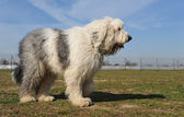 Old English Sheepdog — Stok fotoğraf