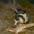 Baby great tit — Stock Photo #2610989