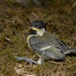 Baby great tit — Stock Photo #2611004