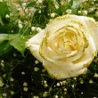 Stock Photo: Wedding rose