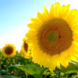 Stock Photo: Sunflower 1