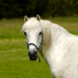 White Horse — Stock Photo #1970388
