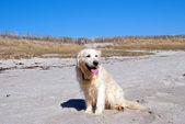 Golden retriever on the beach — Stock Photo