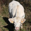 Stock Photo: Inquisitive Charolais Cow