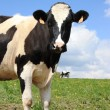 Stock Photo: Holstein dairy cow 2