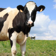 Holstein dairy cow 2 — Stock Photo