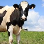 Holstein dairy cow 2 — Stock Photo