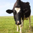 Stock Photo: Holstein dairy cow 1