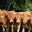 Stock Photo: Curious Limousin cows