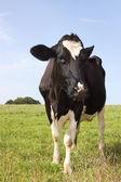 Holstein dairy cow 3 — Stock Photo