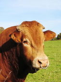 Limousin bull with nose ring — Stock Photo