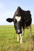 Holstein dairy cow 1 — Stock Photo