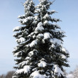 Snow covered cypresses — Stock Photo