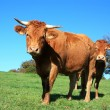 Limousin cattle in a summer pasture - Stock Photo