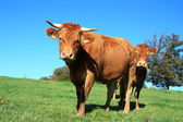 Limousin cattle in a summer pasture — Stock Photo