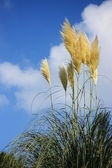 Autumn Pampus Grass — Stock Photo