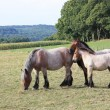 Stock Photo: Draft horse family