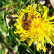Stock Photo: Honey bee foraging