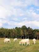 Young charolais cattle — Stock Photo