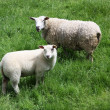 Stock Photo: Lamb and ewe