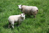 Lamb and ewe — Stock Photo
