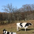 Holstein Friesian dairy cows - Stock Photo