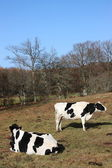 Holstein Friesian dairy cows — Stock Photo