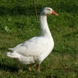White goose on green grass — Stock Photo #1841462