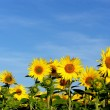 Field of sunflowers - Stockfoto