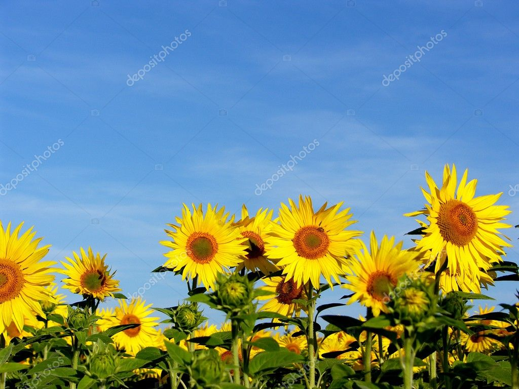 A field of sunflowers and a blue sky  Stock Photo #1919492