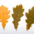 Autumn oak leaves, isolated on white — Stock Photo