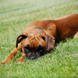 Stock Photo: Young Boxer lying in grass