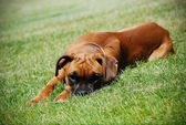 Young Boxer lying in the grass — Stock Photo