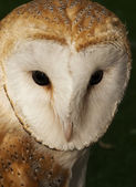 The Barn Owl — Stock Photo